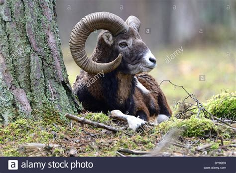 mountain ram mufflon ram mountain sheep ovis ammon musimon winter coat