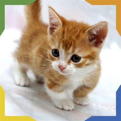 imagenes tiernas gatitos bebes m 225 s de 25 ideas fant 225 sticas sobre gato munchkin en