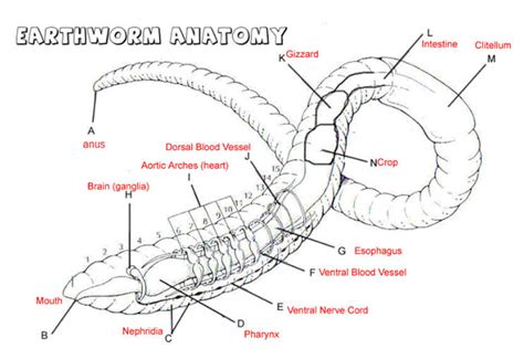 earthworm dissection nervous system earthworm digestive system diagram images how to guide and refrence