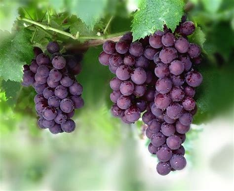 Anggur Merah Segar 10 manfaat buah anggur untuk kesehatan sehat99