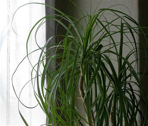 foto di piante da appartamento piante da appartamento beaucarnea recurvata detta