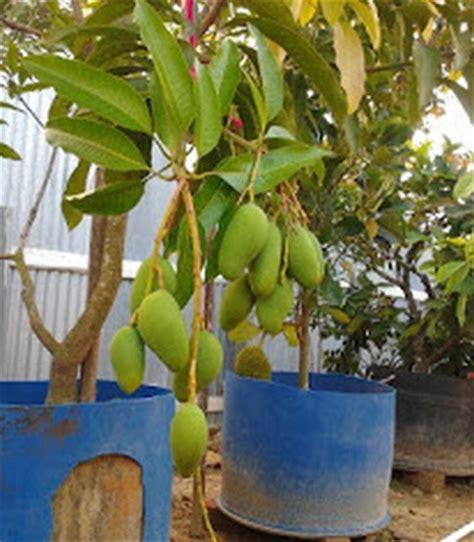 Tanaman Mangga Khieo Sawoi Tinggi 40 60 Cm tanaman mangga kisawei khieo sawoi bibitbunga
