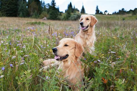 golden retriever photography golden retrievers in the rockies by allison mae photography pretty fluffy