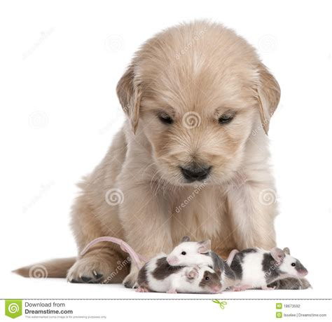 4 week golden retriever golden retriever puppy 4 weeks and mice stock photography image 18673592