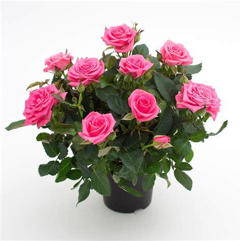 forever roses carlton roses forever 174 roses forever