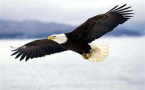 The American bald eagle (Haliaeetus Leucocephalus)   pgcps ...