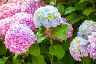 change color of hydrangea bush how to make hydrangea