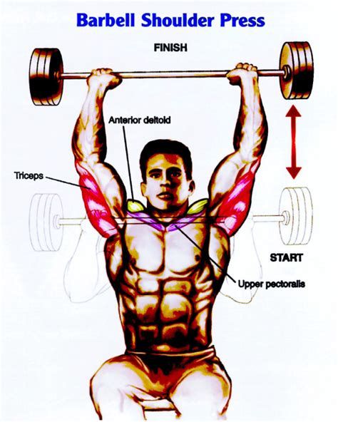 muscles used during bench press what is shoulders anatomy bodybuildertime com