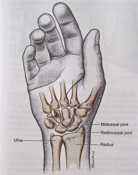 Handgelenk Bilder by Notes On Anatomy And Physiology The Forearm Complex