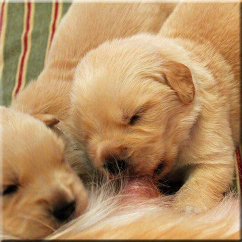 golden retriever puppies for sale nashville tn puppy finder nashville tn dogs our friends photo