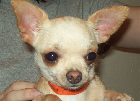 baby chihuahua puppies baby chiwawa puppies www imgkid the image kid has it