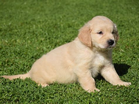 field golden retrievers for sale golden retrievers for sale in all states breeds picture