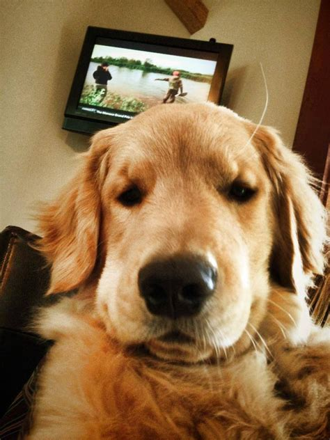 charles golden retriever 17 best images about charles the golden retriever o the legend harley