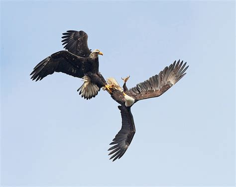 bald eagles mating bald eagle mating ritual flickr photo