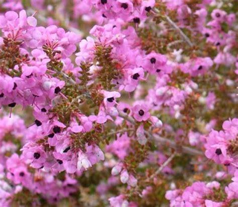 erica fiori erica ericaceae come curare e coltivare le piante di erica