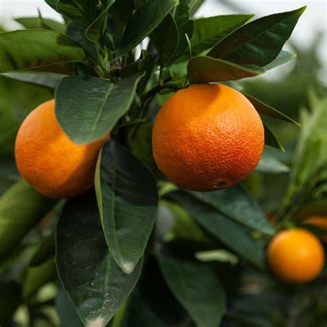 patio orange tree moro blood orange tree a plethora of plants citrus