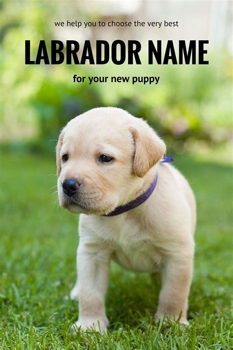 yellow lab puppy names best 25 labrador names ideas on