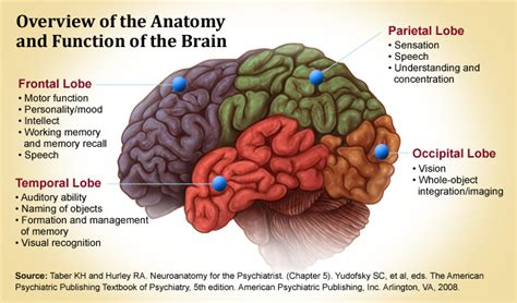 sections of the brain and what they do new studies help better define cognitive changes due to