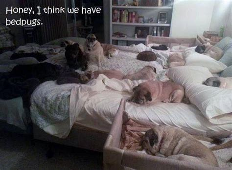 bed pugs friday funny bed pugs doggies com dog blog