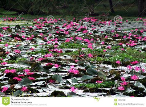 lotus flower touch l lotus flower stock photo image of landscape nature