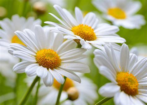 significato fiori margherita margherita significato simbologia e linguaggio della