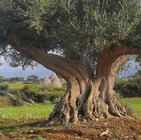 Olive Garden Woodland by Pin By Kathy Stalzer On Taranto Puglia Italy Garden