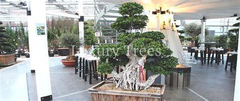 Bonsai Ficus Kaufen by Ficus Bonsai Kaufen 187 Luxurytrees 174 Shop