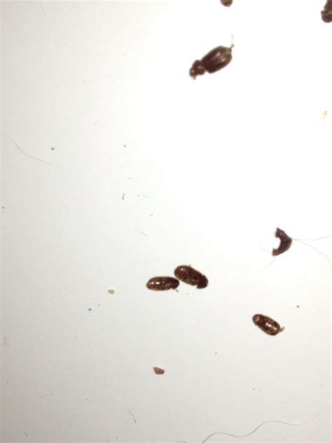 Tiny Black Bugs In Kitchen by Identifying Household Bugs Thriftyfun