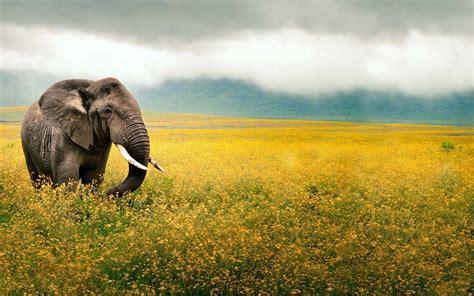 elephant  field  yellow flowers hd animals wallpapers