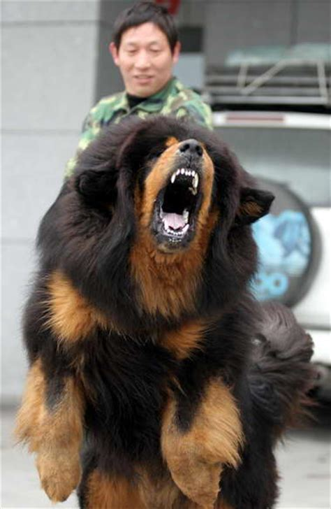 tibetan mastiff puppy tibetan mastiff info puppies sale cost facts pictures