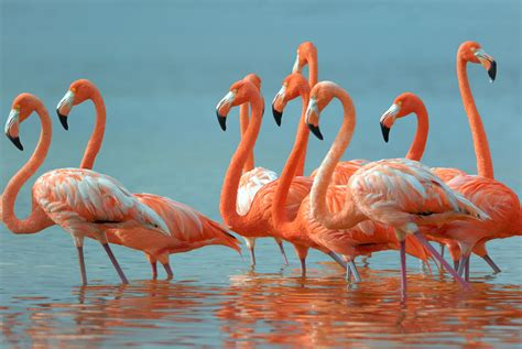 flamingo flock wallpaper greater flamingos just lawn ornaments in the us