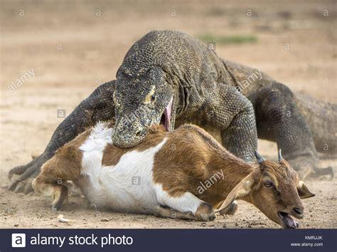 dragon attacks  komodo dragon attacks  prey