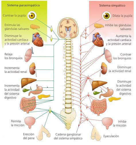 el sistema caged y sistema nervosos central periferico vegetativo simp 225 tico parasimp 225 tico el cos