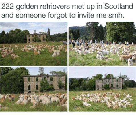 222 golden retrievers 222 golden retrievers met up in scotland and someone forgot to invite me smh smh