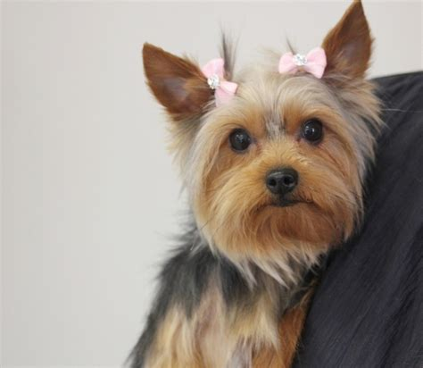 how to groom a yorkie puppy grooming a terrier puppy cut 1001doggy