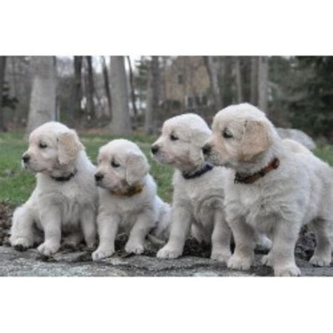 golden retriever breeder massachusetts trailsedge goldens golden retriever breeder in holliston massachusetts