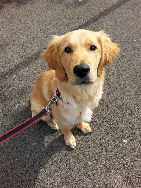 11 month golden retriever 6 month golden retriever kc reg hook hshire pets4homes