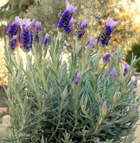 plantas para jardin mediterraneo el blog de la tabla plantas jardin mediterraneo plantas