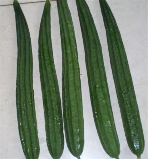 Bibit Gambas cara menanam budidaya gambas di pot polybag pertanian
