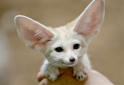 most adorable animals mindblowing planet earth fennec fox is the most cute