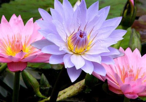 how to grow bigger better and more beautiful water lilies