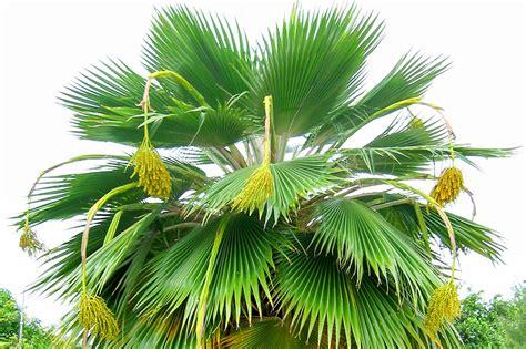 Le Palmier pritchardia periculum le palmier end 233 mique de niau