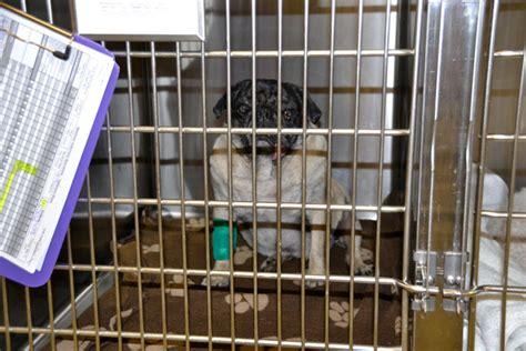 pug collapsed trachea symptoms curly pug rescue