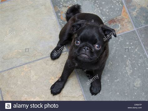 chines pug a 5 month black pug puppy relaxing on slate tile stock photo royalty free