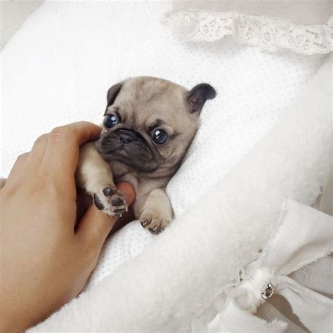 tiny pug puppies 17 best ideas about teacup pug on baby pugs baby dogs and small animals