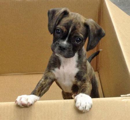 boxer terrier puppies terrier mix on