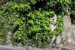 Efeu Beseitigen by Efeu Hauswand Entfernen 187 So Geht S Am Besten