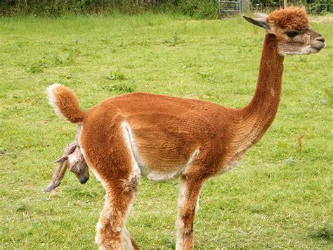 Light Show App Alpaca Birth Flickr Photo Sharing