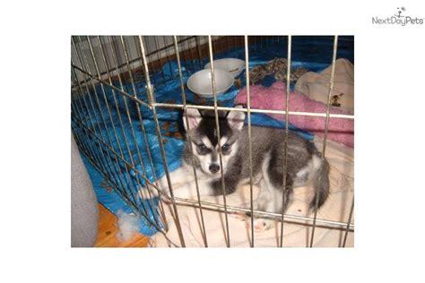 alaskan klee puppies for sale near me alaskan klee puppy for sale near detroit metro michigan bf497967 3361