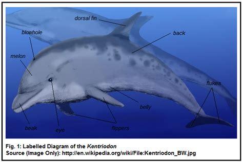 diagram of a dolphin the common bottlenose dolphin kentriodon